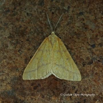 Yellow Belle  Aspitates ochrearia 2 Copyright: Graham Ekins