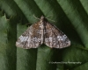 Small rivulet Perizoma alchemillata Copyright: Graham Ekins