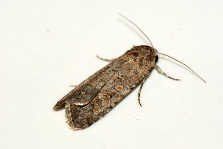 Small Mottled Willow 2 Copyright: Ben Sale