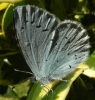 Holly Blue (2) Copyright: Justin Carroll
