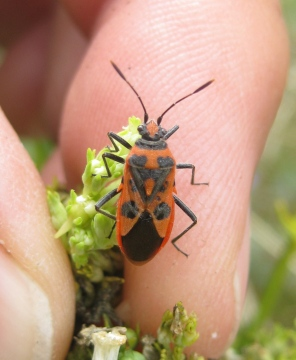 Corizus hyoscyami - Wivenhoe - Aug 2014 Copyright: Greg Smith