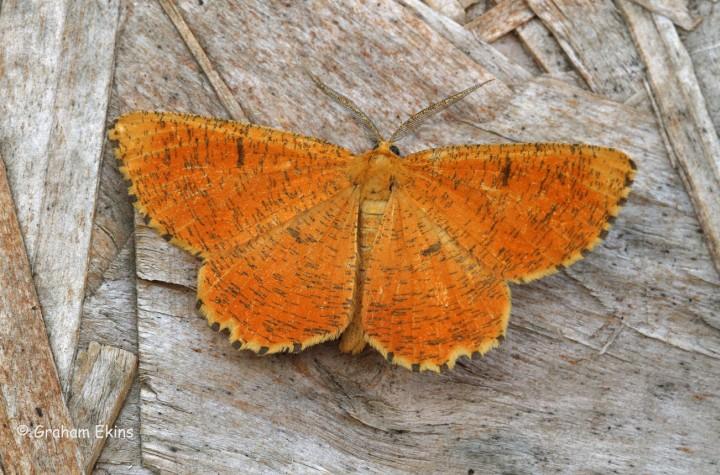 Orange Moth  Angerona prunaria Copyright: Graham Ekins