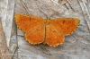 Orange Moth  Angerona prunaria Copyright: Graham Ekins