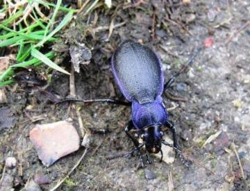 Violet Ground Beetle Copyright: Graham Smith