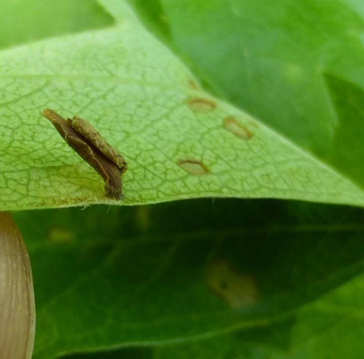 Coleophora siccifolia Copyright: Stephen Rolls