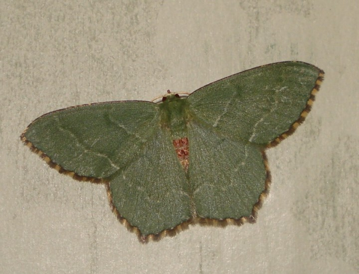 Common emerald moth Copyright: Sue Grayston