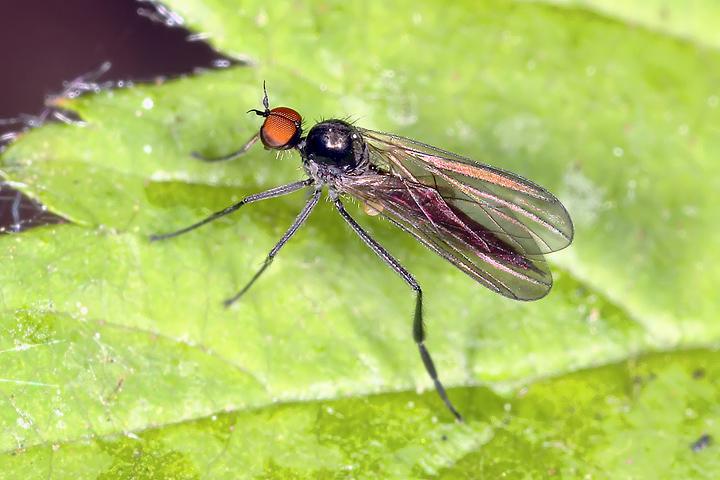 Hybotidae sp. (8 May 2011) Copyright: Leslie Butler