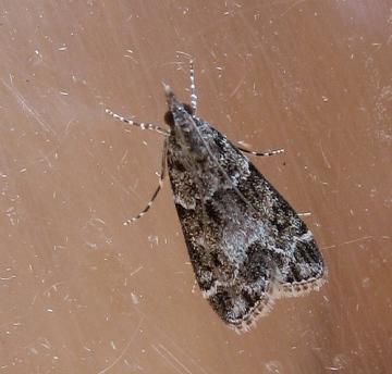 Eudonia mercurella. Copyright: Stephen Rolls