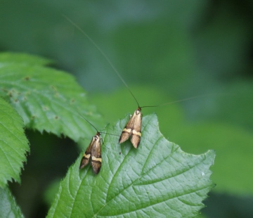 female (left) male (right) Copyright: Robert Smith