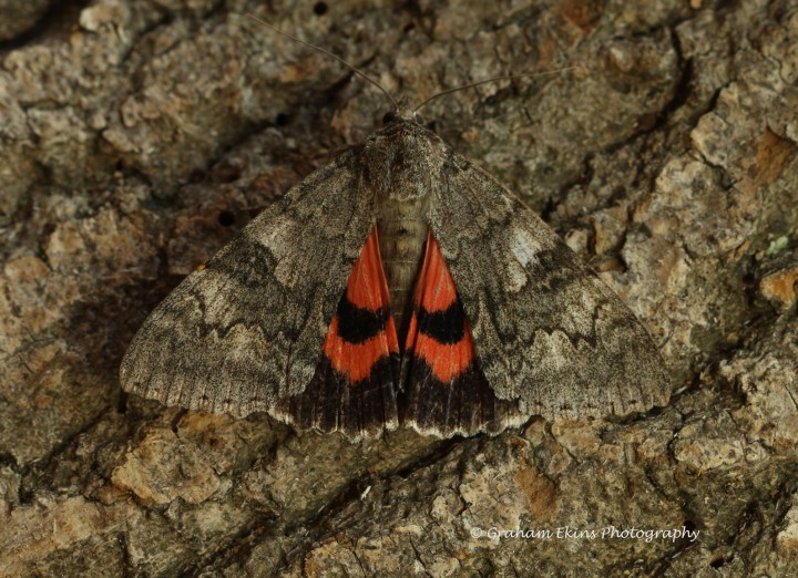 Red Underwing  Catocala nupta Copyright: Graham Ekins