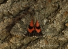 Red Underwing  Catocala nupta Copyright: Graham Ekins