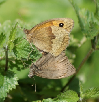 Meadow Brown (in cop) Copyright: Robert Smith