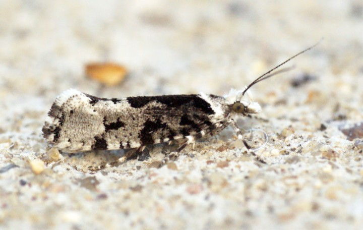 Ypsolopha sequella 1 Copyright: Ben Sale