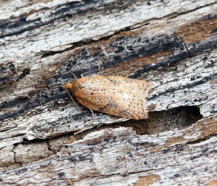 Acleris ferrugana-notana Copyright: Ben Sale