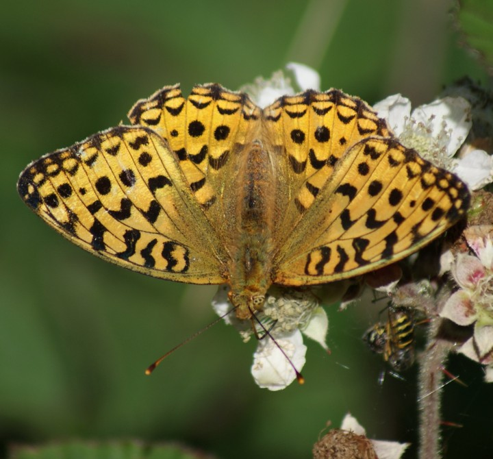 High Brown Fritillary Copyright: Robert Smith
