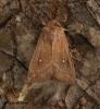 Mythimna albipuncta   White-point 4 Copyright: Graham Ekins