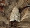 Eudonia pallida 4 Copyright: Graham Ekins