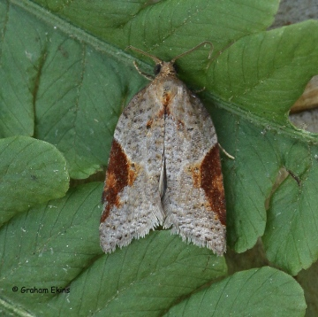 Acleris laterana 2 Copyright: Graham Ekins