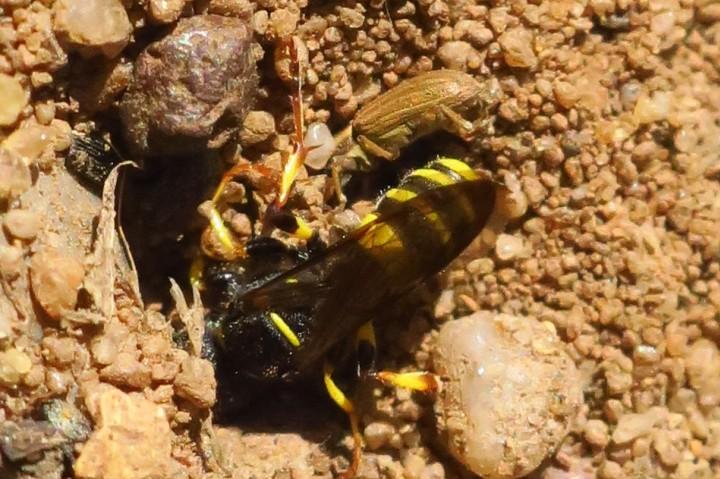 Female wasp with a Sitona weevil Copyright: Maria Fremlin