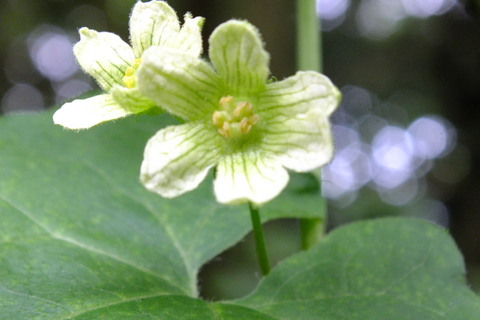 White Bryony   Bryonia cretica  flower close up Copyright: Peter Pearson
