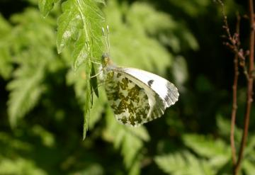 Orange Tip (Female) Copyright: Malcolm Riddler