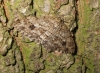 Engrailed 3 Copyright: Ben Sale