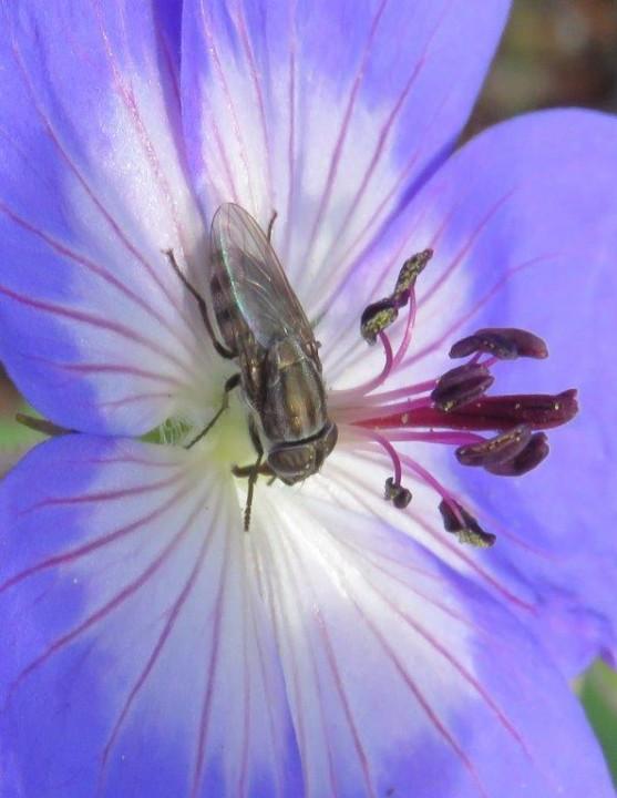 Stomorhina lunata 2 Copyright: Chris Gibson