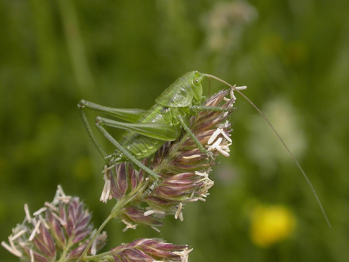 Speckled Bush Cricket Copyright: Malcolm Riddler
