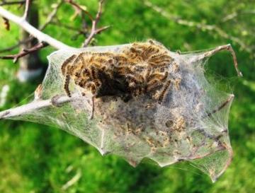 Brown-tailed Moth caterpillars Copyright: Graham Smith
