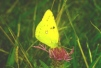 Colias croceus Copyright: Peter Harvey