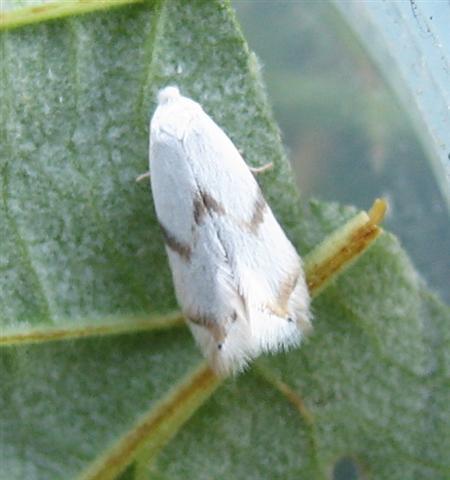 Pseudopostega crepusculella. Copyright: Stephen Rolls
