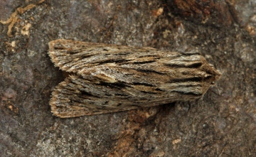 Sprawler Asteroscopus sphinx Copyright: Graham Ekins