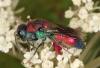 Chrysis viridula female 2 Copyright: Peter Harvey