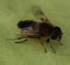 Eristalis pertinax Copyright: Robert Smith