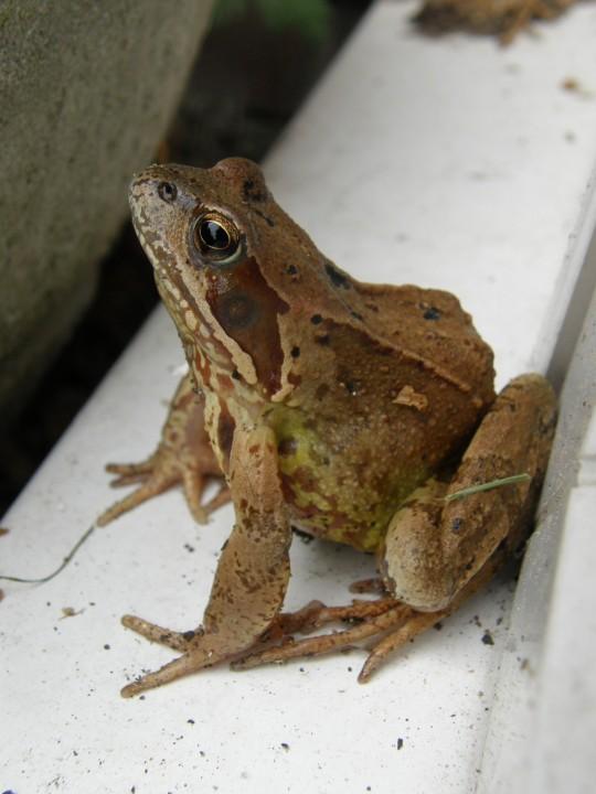 Common Frog on my doorstep Copyright: Sue Grayston