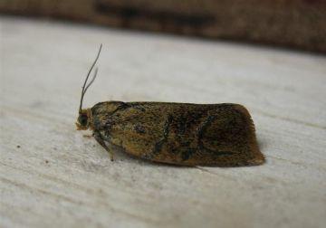 Ptycholoma lecheana. Copyright: Stephen Rolls