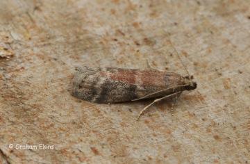 Ephestia unicolorella ssp woodiella Copyright: Graham Ekins