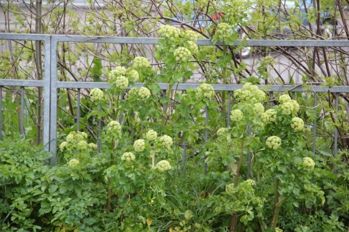 Alexanders in flower Copyright: Peter Harvey