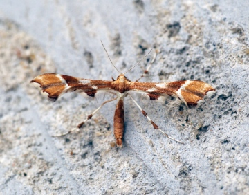 Cnaemidophorus rhododactyla 2 Copyright: Ben Sale