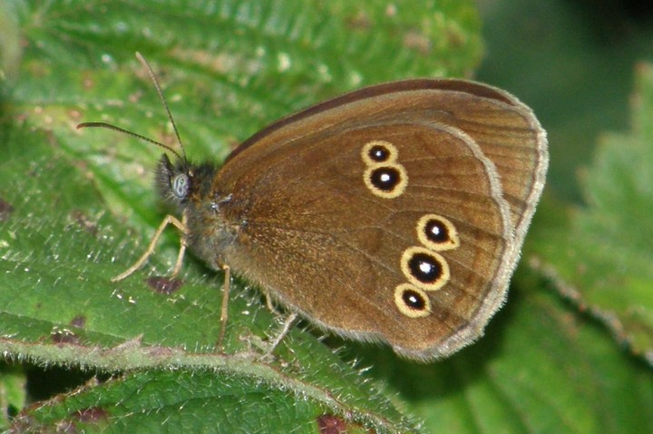 Ringlet Copyright: Sue Grayston