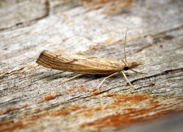 Pediasia contaminella Copyright: Ben Sale