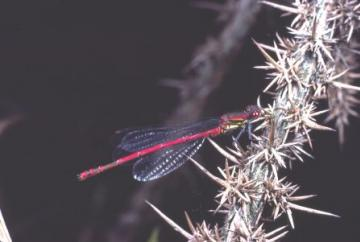 Ceriagrion tenellum Copyright: Peter Harvey