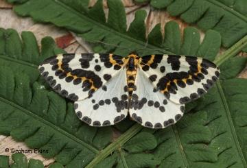 magpie Moth 10 Copyright: Graham Ekins