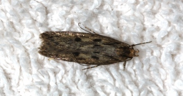 Hofmannophila pseudospretella Copyright: Peter Furze