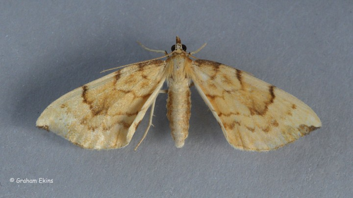 Gandaritis pyraliata   Barred Straw Copyright: Graham Ekins