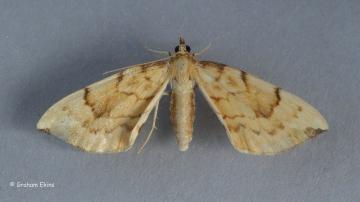 Gandaritis pyraliata   Barred Straw Copyright: Graham Ekins