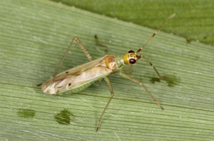 Dicyphus epilobii Copyright: Peter Harvey