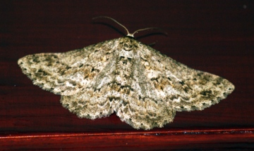 Engrailed 4 Copyright: Ben Sale