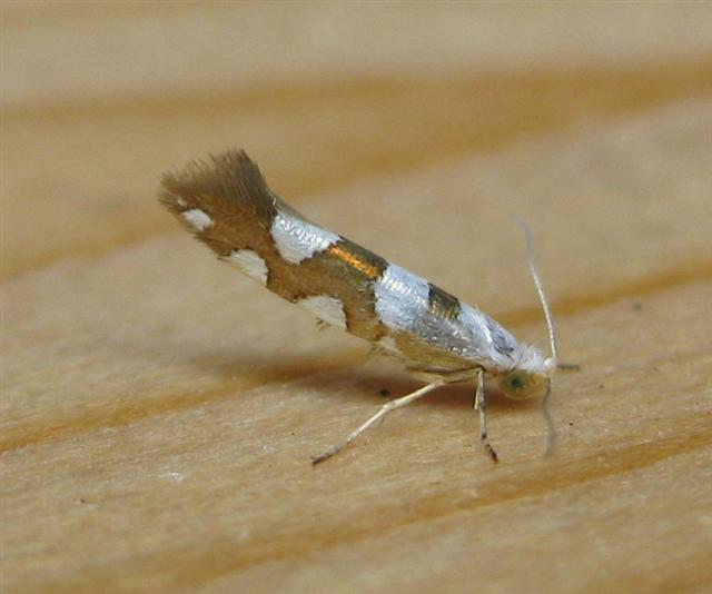 Argyresthia brockeella. Copyright: Stephen Rolls