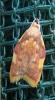 Carcina quercana. Copyright: Stephen Rolls